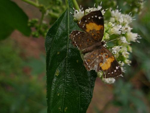 butterfly asteraceae.JPG