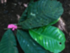Myristicaceae Virola theidora 1.jpeg