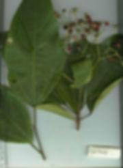 850_0_Flacourtaceae_Spp_3_Gilbert.jpg