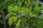 Pouroma ovata (2).jpg
