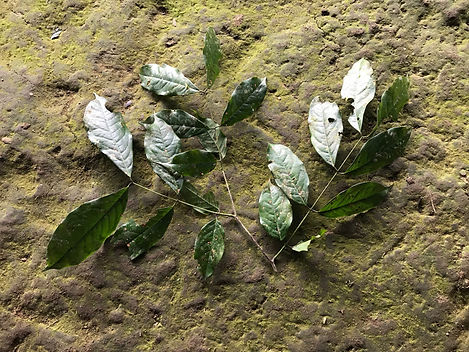 Fabaceae Browneopsis cauliflora.jpeg