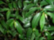 Urticaceae_Pilea_Photo Swanson.jpg