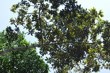 angu ajua leaves 2.jpg