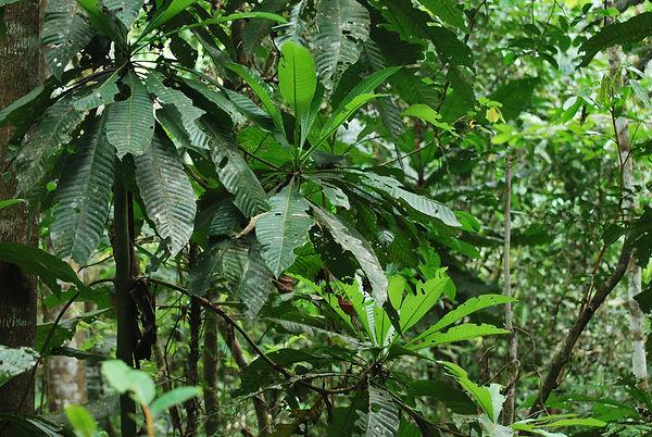 Calycophyllummegistocaulum Rubiaceae.jp