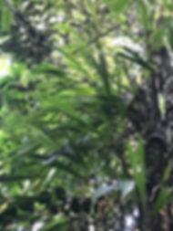 Cyclanthus funifer.jpg