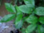 1_Lead_Fabaceae_Inga_u_Spp_Q-Sacha_Pacai