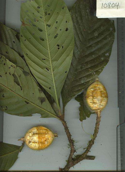 0_Rubiaceae_Spp_10_Landrum_1.jpg