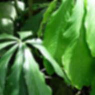 850_1_Lead_Araceae_Anthurium_eminens.jpg