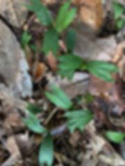Genoma Stricta saplings.jpg