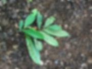 Annonaceae Guatteria decurrens 3.jpg