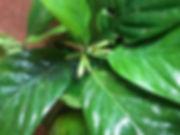 Rubiaceae Hippotis albiflora 3_edited.jp