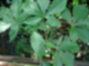 0_Sterculiaceae_Spp_Q_Sacha_Cacao.jpg