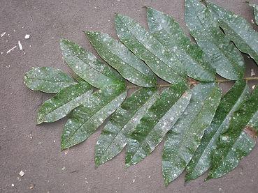 Burseraceae Protium amazonicum.JPG_4.JPG