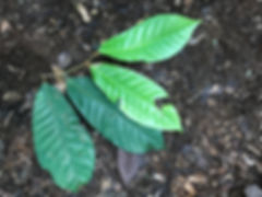 Myristicaceae Virola theidora.jpeg
