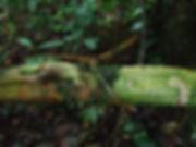 Celastraceae_salacia_gigantea.JPG