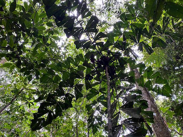 Arecaceae Aiphanes ulei.jpg