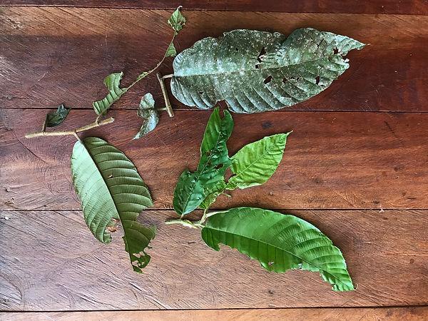 Moraceae Perebea guianensis 1.jpeg