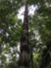 Arecaceae Astrocaryum chambira 1.JPG