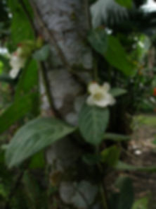 Gesnriaceae_Drymonia.jpg