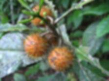 Flacourtaceae_Mayna_odorata (1).jpg