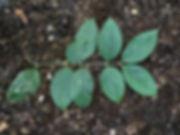 Monimiaceae_Mollinediaovata_2.jpeg