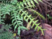 1_Lead_Fabaceae_Inga_ciliata.jpg