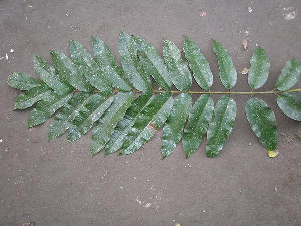 Burseraceae Protium amazonicum.JPG_2.JPG