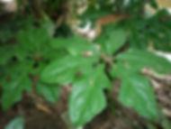 Anthurium_Spp_Photo_Swanson.JPG