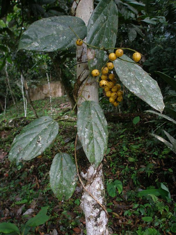 Menispermaceae vine.JPG