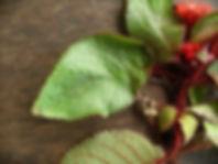 Pearcea_Gesneriaceae_Baita_Panga.jpg