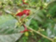 Olacaceae_Heisteria acuminata_Photo_Swan