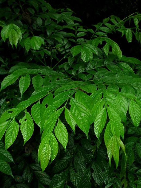 Bignoniaceae_Jacaranda_copaia_Cupa_Yura.