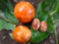1_Lead_Celastraceae_Maytenis_Spp_Q- Chuc