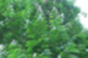 patas leaves.jpg