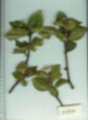 0_Urticaceae_Spp_1_Landrum_1.jpg