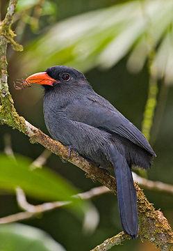 Black-fronted-Nunbird-0009.jpg