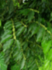 Flaturcaceae (3).JPG