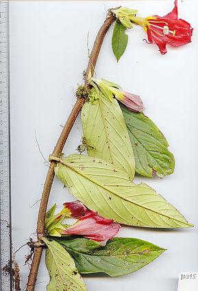 0_Gesneraceae_Columnea_nicaraguensis.jpg