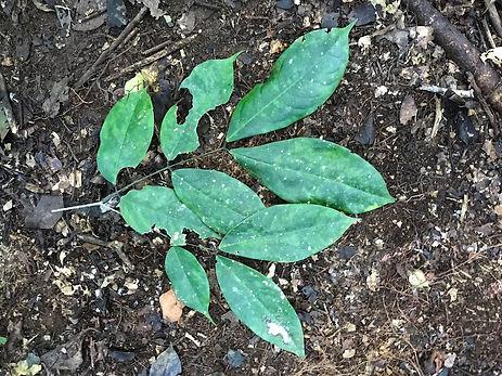 Fabaceae Browneopsis cauliflora 4.jpg