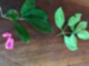 Nyctaginaceae Guapira 2.jpg