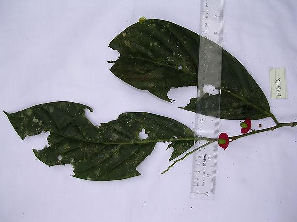 1_Lead_Olacaceae_Spp_Landrum.jpg