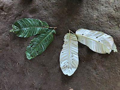 Myristicaceae Virola peruviana .jpeg