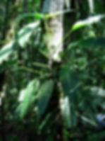 850_1_Lead_Araceae_Philodendron_Spp_1.jp