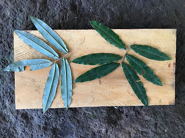 Myristicaceae Virola surinamensis.jpg