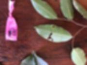 Moraceae Pseudolmedia laevis.jpg
