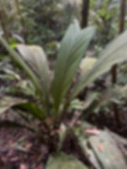 Arecaceae Geonoma macrostachys 1.jpg