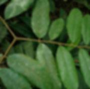 Sterculaceae_Cushillu_Cambiaj_Photo_Swan