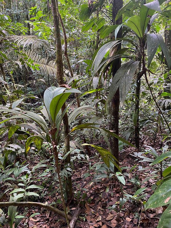 Arecaceae Geonoma stricta.jpg
