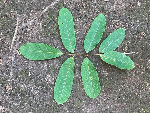 Burseraceae Protium tenuifolium_edited.j
