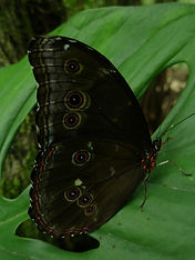 Morpho butterfly_Photo_Swanson.JPG